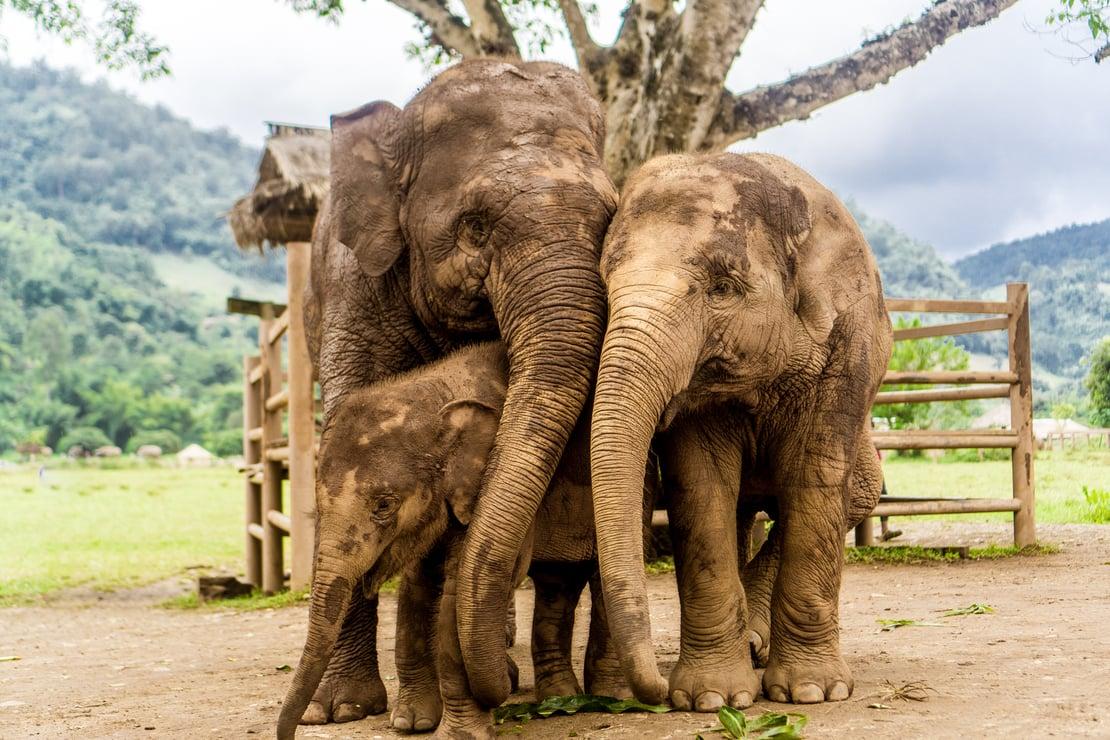 elephant thailand 1